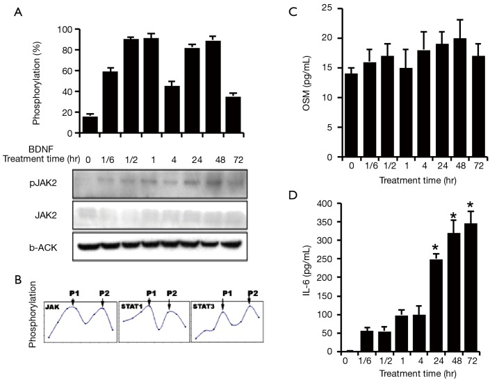 Mechanism of JAK/STAT re-activation by BDNF in HSCs. BDNF (100 pM) was administered to treat the human Schwann cell HSCs for 0 min, 10 min, 30 min, 60 min, 120 min, 24 hr, 48 hr, and 72 hr. (A) JAK2 was activated by BDNF treatment and possessed two phosphorylation peaks, which was similar to the response of STAT3/STAT1; (B) the phosphorylation levels of JAK2, STAT1 and STAT3 were presented as a ratio of phosphorylated form to total expressed forms. P1: phosphorylation early peak. P2: phosphorylation late peak. The cell culture mediums from the above treatment were applied to assay the level of cytokines secreted from HSCs by ELISA; (C) 1 hr after the BDNF treatment, HSCs began to secrete OSM-M at levels reaching ~20±0.8 pg/mL at 24 hr ( # P > 0.05); (D) BDNF significantly increased the secretion of IL6 from HSCs after 1 hr of the treatment and reached ~360.9±74 pg/mL at 72 hr (*P
