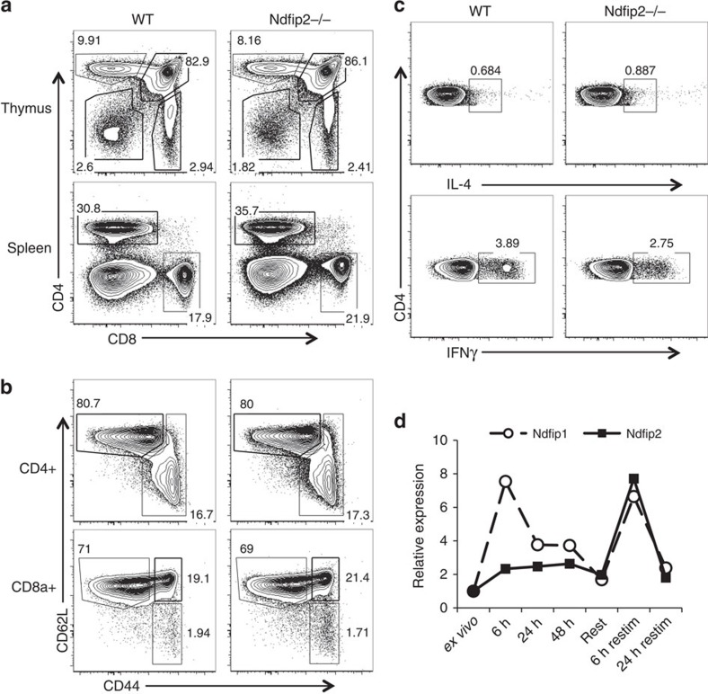 Ndfip2 −/− mice do not show signs of inflammation. ( a , b ) Representative flow cytometry analysis of T-cell populations from thymus and spleen of 5–7-week-old Ndfip2 −/− and age-matched control mice: ( a ) CD4+ and CD8+ cells, ( b ) CD44 and CD62L expression on these cells, as noted. ( c ) Intracellular cytokine staining for IL-4 and IFNγ in CD4+ T cells from Ndfip2 −/− and WT spleens stimulated ex vivo with PMA and ionomycin in the presence of BFA. Representative of at least five mice per genotype, 5–7 weeks of age. ( d ) CD4+ T cells were stimulated in vitro for the indicated time periods with αCD3/CD28. Ndfip1 and Ndfip2 expression was analysed by qPCR. Ndfip1/Ndfip2 expression relative to Actb was normalized to expression in unstimulated CD4+ T cells. Representative of a minimum of three independent experiments.