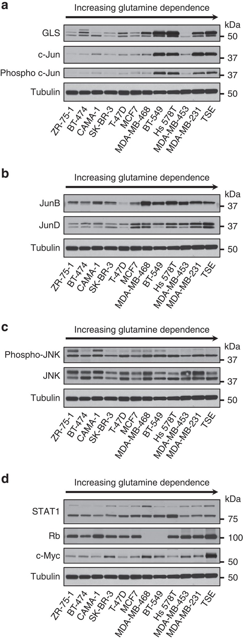c-Jun correlates strongly with GLS levels in human breast cancer cell lines. Cells were collected at ∼60% confluency from RPMI growth medium supplemented with 10% FBS, and whole-cell lysates prepared and analysed by western blot. Samples were ordered according to glutamine dependence, increasing from left to right ( Supplementary Fig. 3 ). ( a ) Correlation between c-Jun/phospho-c-Jun and GLS levels. Quantification of GLS and c-Jun band intensities allowed a Pearson correlation coefficient of 0.85 to be determined ( Supplementary Fig. 4a ). ( b ) Other Jun-family members do not correlate strongly with GLS levels. ( c ) Under 10% FBS culture conditions, p46 JNK (lower band) is active in all of the breast cancer cell lines. Neither JNK nor phospho-JNK correlate with GLS levels. ( d ) Other reported regulators of GLS expression do not strongly correlate with GLS levels.