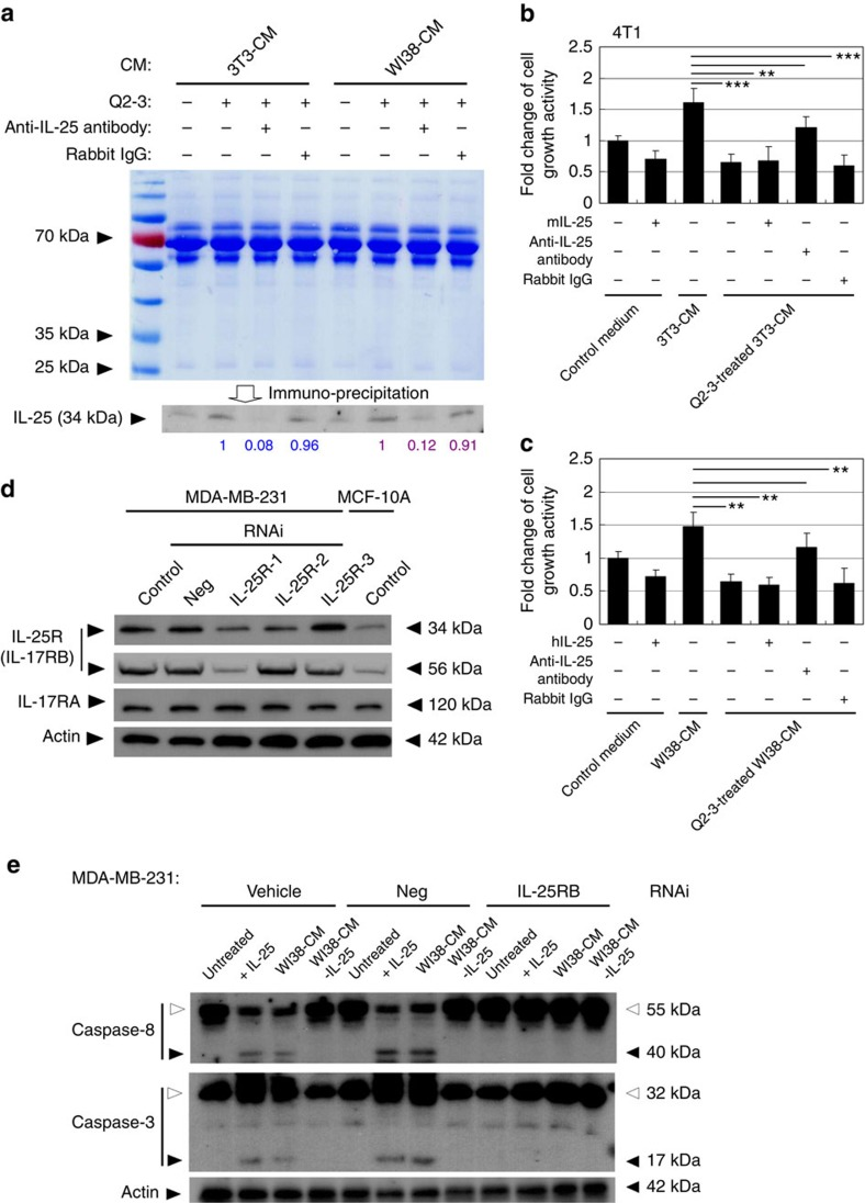 IL-25 secreted by Q2-3-treated fibroblasts suppresses the growth of mammary tumour cells. ( a ) Western blot analysis of the IL-25 secretion activity of mouse (3T3) and human (WI38) fibroblasts in response to Q2-3 treatment. Different fibroblast-conditioned media (CM), including 3T3-CM and WI38-CM, were collected from the 3D cultures and were stained with coomassie blue, revealing that the total protein level in tested CM was normalized. Aliquots of 3T3-CM and WI38-CM were immunodepleted for IL-25. Rabbit IgG (isotype control) was used as a negative control. Amounts of IL-25 (relative staining intensity) were further normalized with the value detected for Q2-3-treated 3T3-CM (blue) or Q2-3-treated WI38-CM samples (purple). ( b ) Reduction in cytotoxicity of 3T3-CM on 4T1 cells after immunodepletion of IL-25. The control (fresh) medium, 3T3-CM, Q2-3-treated 3T3-CM, Q2-3-treated 3T3-CM with added IL-25 protein, Q2-3-treated 3T3-CM with the immunodepletion of IL-25 and Q2-3-treated 3T3-CM with control IgG-mediated immunodepletion, were compared for their suppressive effect on growth of 4T1 cells. ( c ) Reduction in cytotoxicity of WI38-CM on MDA-MB-231 after immunodepletion of IL-25. Similarly, WI38-CM with added IL-25 protein, WI38-CM with the immunodepletion of IL-25, or Q2-3-treated WI38-CM with control IgG-mediated immunodepletion, were compared for their effect on growth of MDA-MB-231 cells. The growth activity of 4T1 cells or MDA-MB-231 cells was determined using MTT assay at 5 days post cultivation, and was normalized to the control group (with fresh medium only). Data are reported as mean±s.d. ( n =3). * P