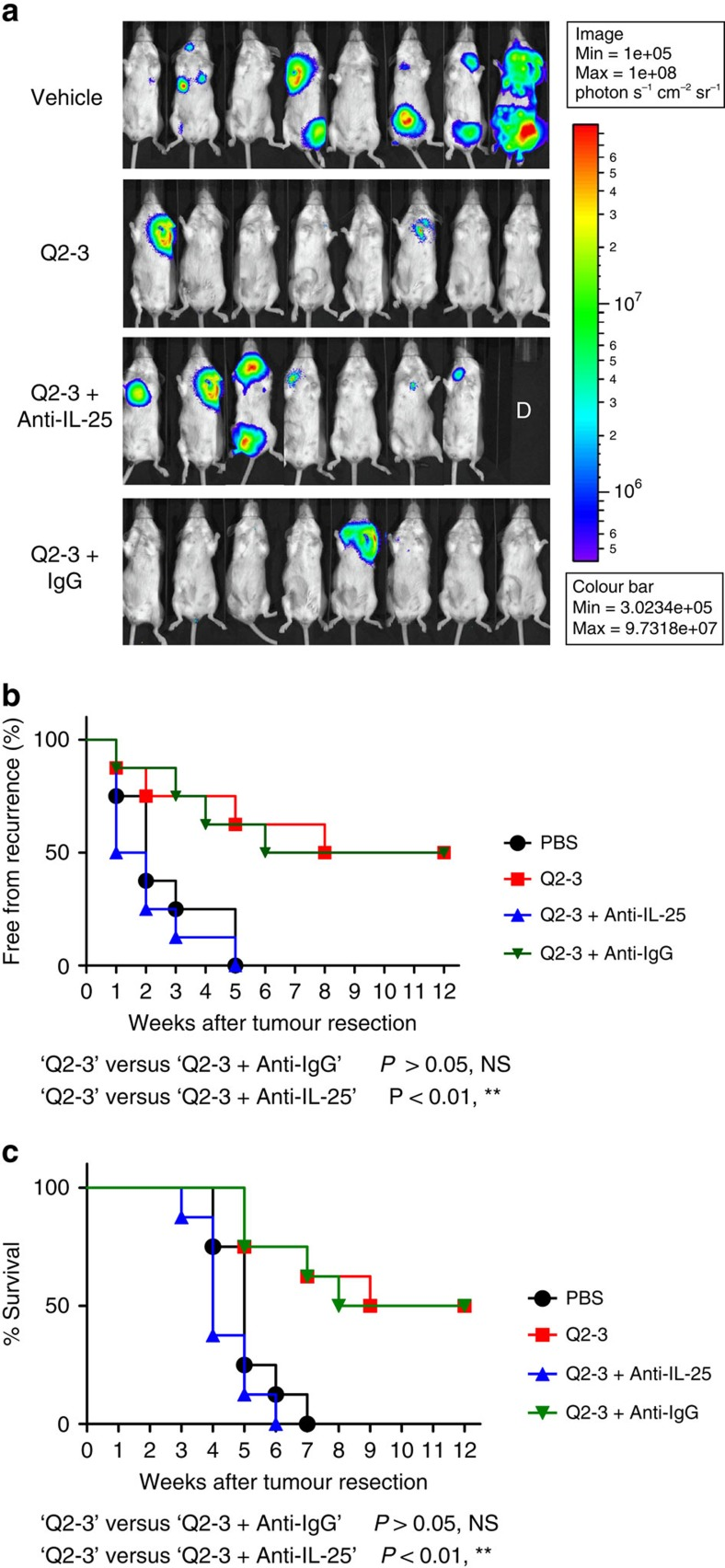 In vivo neutralization of IL-25 activity can effectively invalidate the anti-metastatic activity of Q2-3. ( a ) Representative bioluminescent images of tumour-resected mice ( n =8 per group) after in vivo treatment with PBS (0.1% DMSO in saline), Q2-3 (100 μg kg −1 ; 3 injections per week), anti-mouse IL-25 Ab (100 μg per mice; 2 injections per week), Q2-3+IL-25 Ab, or Q2-3+isotype IgG, at 3 weeks post tumour resection. The label 'D' in the photograph denotes the mice died before 3 weeks post tumour resection. ( b ) Quantification of tumour metastasis by measuring luciferase activity photons s −1 cm −2 sr −1 in mice, as revealed along the indicated time course (12 weeks). ( c ) Survival of test mice after different treatments. NS, no significant difference between the 'Q2-3' and 'Q2-3+Anti-IgG' groups. ** P