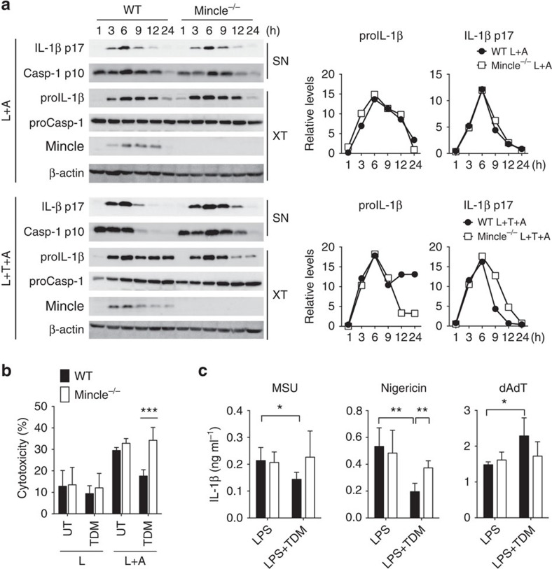 TDM stimulation diminishes NLRP3-dependent inflammasome activation and IL-1β production. ( a , b ) WT and Mincle −/− BMDMs were stimulated with LPS or co-stimulated with LPS and TDM for 12 h or the indicated times and then treated with <t>ATP</t> for 1 h (L: LPS; T: TDM; A: ATP; UT: untreated). ( a ) Left: immunoblot analysis of proIL-1β, mature IL-1β (p17), procaspase-1 (proCasp-1) and cleaved caspase-1 (p10) in cell culture supernatants (SN) and whole-cell lysates (XT). Right: kinetic quantitative analysis of proIL-1β and mature IL-1β (p17) from the immunoblots. ( b ) Release of lactate dehydrogenase (LDH) (assessing cell death) from cells. ( c ) ELISA of released IL-1β from LPS-treated WT and Mincle −/− BMDMs, stimulated with TDM for 12 h and then treated with <t>MSU,</t> nigericin or poly(dA:dT) for 3 h. * P