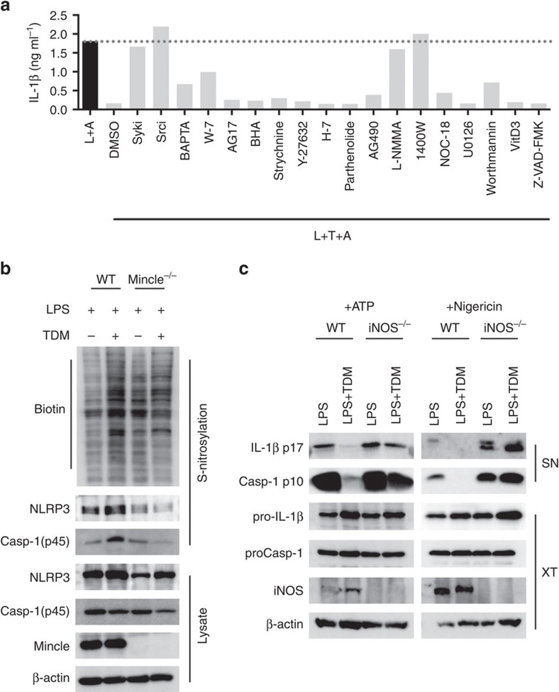TDM-induced nitric oxide upregulation inhibits activation of the NLRP3 inflammasome. ( a ) WT and Mincle −/− BMDMs were stimulated with LPS (L+A) or co-stimulated with LPS and TDM (L+T+A) for 12 h in the presence of the indicated chemical inhibitors, and then treated with ATP for 1 h. ELISA of released IL-1β. ( b ) Immunoblot analysis of total S -nitrosylated proteins (biotin), NLRP3 or caspase-1 in BMDMs treated with LPS or stimulated with TDM for 12 h. Below (lysate), immunoblot analysis of total lysate fractions. ( c ) Immunoblot analysis of IL-1β and caspase-1 from LPS-treated WT and iNOS −/− BMDMs, stimulated with TDM for 12 h, and then treated with ATP for 1 h or nigericin for 3 h. Data are representative of one ( a ) or two ( b , c ) independent experiments.