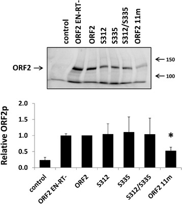 Expression of ORF2p containing mutations in selected putative phosphorylation sites outside of the endonuclease domain. Top panel: Representative western blot analysis of total cell lysates harvested from HeLa cells transfected with the indicated ORF2 putative phosphorylation mutant constructs. ORF2 is the functional protein and ORF2 EN-RT- is a non-functional protein containing mutations in the endonuclease (D205A) and reverse transcriptase (D702A) domains. Control lanes indicate cells transfected with an empty vector. Lysates were probed with polyclonal antibodies generated against the human L1 ORF2 protein. Bottom panel: Western blot quantitation. For each sample, the signal detected for ORF2p was normalized to the total protein load. These relative numbers were expressed as a proportion of the relative number detected from the functional ORF2p. Asterisk denotes a significant difference in the steady-state levels relative to the functional ORF2p ( t -test, P ≤ 0.05)