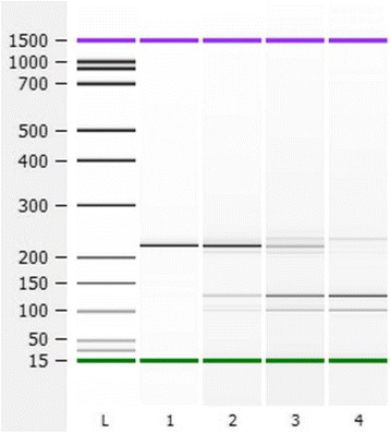 Optimization of TspRI digestion for the BRAF amplicons. 100 ng of BRAF PCR fragments amplified from normal DNA were digested with TspRI. Lane 1: No TspRI, 65 °C, 15 min. Lane 2: 5U TspRI, 65 °C, 5 min. Lane 3: 10U TspRI, 65 °C, 10 min. Lane 4: 20U TspRI, 65 °C, 15 min, leading to digestion of the majority of BRAF PCR fragments