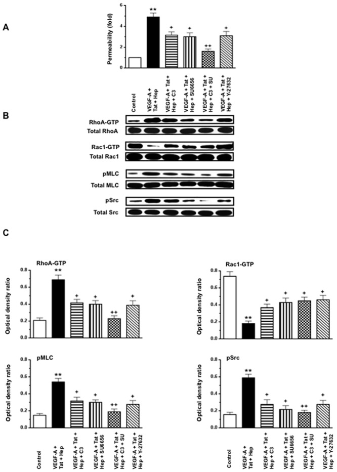 VEGF-A in combination with HIV-Tat and heparin, increases the permeability of cultured HGEc-1 through Rho-A and Src dependent pathways. (A) Monolayers of 5 hours-starved HGEc-1 were stimulated by VEGF-A (50 ng/ml), Tat (100 ng/ml), and Heparin (50 units/ml) all combined. The Rho-A inhibitor: C3 transferase (20 ng/ml), was added 4 hours before stimulation and the inhibitor of Src family kinase SU6656 (1 μM) and ROCK inhibitor Y-27632 (10 μM) were added 1hr before stimulation. The data represent FITC-dextran permeability expresses as fold increase. (B) Overnight-starved HGEc-1 monolayers were treated for 5 min as described above and then harvested to assess the phosphorylation of Rho-A, Rac1, MLC and Src, as described in Methods. Panel B shows representative Western blots corresponding to the phosphorylation changes. (C) The graphs show mean ± SEM values corresponding to three different Western blots that assessed the phosphorylation of Rho-A, Rac1, MLC, and Src in cultured HGEc-1. Results were expressed in arbitrary optical density units expressed as a ratio of the total activity. Values significantly different from control cells treated with serum free media were marked with asterisks **p