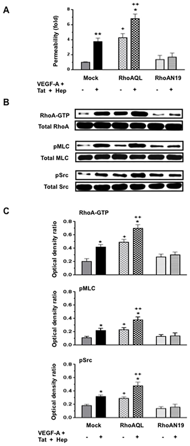 Rho-A activation increases the permeability of HGEc-1. (A) Cultured HGEc-1 cells were transfected with different plasmids, pCEFL-mock, constitutively active RhoAQL (pCEFL-AU5-RhoAQL), or dominant negative mutant RhoAN19 (pCEFL-AU5-RhoAN19). Twenty-four hours later, the cells were treated with VEGF-A (50 ng/ml) + Tat (100 ng/ml) + Heparin (50 units/ml), all together, and exposed to FITC-dextran as described in methods. (B) In other experiments HGEc-1 cells were treated for 5 min as described above and then harvested to assess the phosphorylation of Rho-A, MLC, Src as described in Methods. Panel B shows representative western blots corresponding to the phosphorylation changes. (C) The graphs show mean ± SEM values corresponding to three different Western blots that assessed the phosphorylation of Rho-A, MLC and Src in cultured HGEc-1. Results were expressed in arbitrary optical density units as a ratio of the total activity. In each group, mock, RhoAQL and RhoAN19 transfected cells were treated with either serum free media (Controls) (-), or VEGF-A + Tat + Heparin (+). Groups that were significantly different from controls (-) were labeled with asterisk , *p
