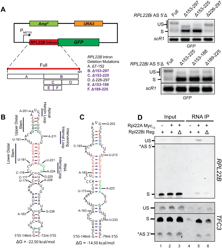Identification of a regulatory element necessary for binding of Rpl22 to the unspliced RPL22B mRNP in vivo . A. Left : Schematic of RPL22B intron reporter system based on a pUG35 plasmid backbone. Also indicated are the deletions of the binary search. Deletions highlighted in bold purple font indicate those that result in a loss of splicing inhibition. Right : Northern blots demonstrating the loss of splicing inhibition upon deletion of certain segments of the RPL22B intron. SCR1 was used as a loading control. Note that all constructs appearing in these blots do not contain the alternative 5'-splice site. See S1 Text for details. B. Structure of the RPL22B intron bounded by nucleotides G-153 and C-246 as predicted by Mfold. Regions of interest have been denoted. Nucleotides of the lower distal stem and nucleotides U221 through A224 of the putative RNA Internal Loop were experimentally determined to be important for autoregulatory activity and are colored orange and green, respectively. C. Experimentally deduced intronic regulatory element that mediates the inhibition of splicing of the RPL22B pre-mRNA. Nucleotide colors from Panel B are retained for comparison. Details describing the experiments leading to the inferred secondary structure are provided in S1 Text . D. RNA immunoprecipitation shows the association of Rpl22p with the unspliced RPL22B mRNP that requires the regulatory element. Upper panel : RT-PCR analysis of RPL22B transcripts derived from cells expressing untagged Rpl22Ap (-), Rpl22Ap with the 13-Myc epitope tag (+), and cells with the RPL22B intronic regulatory element deleted (Δ) and expressing tagged protein (+). Total input RNA and immunoprecipitated RNA were analyzed from each strain. Labeled bands show the unspliced (US) and spliced (S) species. Lower panel : RT-PCR analysis of TFC3 transcripts performed by similar methods as described for panel A. Bands indicate the unspliced (US) and spliced (S) species. The gel images have been truncated for 