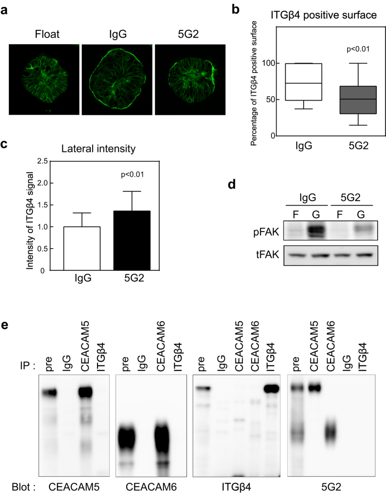 Pre-incubation with 5G2 mAb inhibited translocation of integrin β4 in CTOSs. (a) Immunocytochemical analysis of CTOSs using integrin β4 antibody. C45 CTOSs under floating conditions (i.e., suspension culture) were pre-incubated with the indicated antibody and cultured for 20 h in Matrigel. (b) CTOS surface coverage with the integrin β4 signal. C45 CTOSs were treated the same as in ( a ). Differences were analysed by the Mann Whitney U-test. IgG, n = 111; 5G2, n = 139. Horizontal bar, median; boxes, 25 th and 75 th percentiles; bars, 10 th and 90 th percentiles. (c) Integrin β4 signal intensity on lateral membranes in CTOSs. C45 CTOSs were treated the same as in ( a ). Data indicate mean ± SD. Differences were analysed by the Mann Whitney U-test. IgG, n = 1512; 5G2, n = 2066. (d) Western blot using phosphor-FAK (pFAK) or total FAK (tFAK) antibody. C45 CTOSs in floating conditions (F) were pre-incubated with the indicated antibody and cultured for 6 h in Matrigel (G). ( e ) Immunoprecipitation analysis of floating cultured C45 CTOSs. Antibodies used for immunoprecipitation (IP) and detection (Blot) are shown.