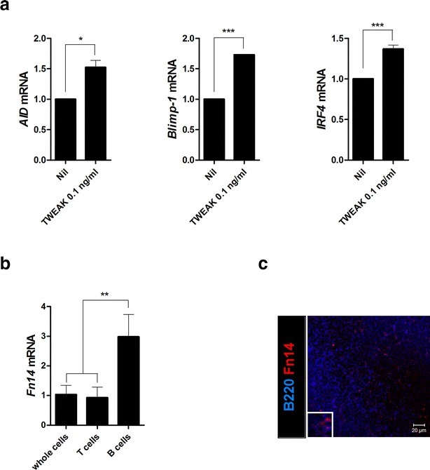 TWEAK promotes B cell differentiation. a CD19 + B cells isolated from the spleens of sanroque mice were cultured with or without TWEAK (0.1 ng/ml). After 3 days, total <t>RNA</t> was extracted using the <t>TRI</t> reagent. The mRNA levels of various B cell differentiation markers—such as AID , Blimp - 1 , IRF4 —were analyzed by real-time PCR. b Splenocytes, CD4 + T cells, and CD19 + B cells were isolated from the spleens of sanroque mice, total RNA was extracted using TRI reagent, and mRNA levels of Fn14 were analyzed by real-time PCR. c Spleens from the sanroque mice were examined by immunofluorescence staining with monoclonal Abs against B220 ( blue ) and Fn14 ( red ). Data are expressed as means ± SDs. * P