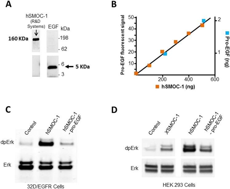 Pro-EGF is present as an impurity in a commercial hSMOC-1 product. (A) Immunoblot of 5μg hSMOC-1 (R D systems #6074-SM) with an antibody to mature EGF (EMD Millipore #PC08). The band detected at approximately 160 kDa is consistent with the mass of pro-EGF. Mature EGF (50ng), detected at 5kDa, is shown as control. (B) Immuno-quantitation of pro-EGF in hSMOC-1. Fluorescence scan analysis of pro-EGF signals obtained following immunoblotting of hSMOC-1 (R D Systems) and recombinant pro-EGF (R D Systems #4289-EG) at the amounts shown. The left-hand Y axis displays the pro-EGF fluorescence signal intensity; the X axis displays the amounts of commercial hSMOC-1 analyzed (blue squares); the right hand Y axis displays the known amounts of recombinant pro-EGF analyzed (red squares). Note: Additional pro-EGF data points were used for the best fit analysis, but the graph was cropped to show the intersect point with hSMOC-1 more clearly. (C) Immunoblot of 32D/EGFR cell lysates showing increased phosphorylation of Erk following a six minute exposure to hSMOC-1 or hSMOC-1 immuno-depleted of pro-EGF (hSMOC-1 –proEGF). (D) Immunoblot of HEK293 cell lysates showing Erk phosphorylation following a six minute exposure to X SMOC-1, hSMOC-1, or hSMOC-1 –proEGF; the apparent higher potency of undepleted hSMOC-1 was presumably due to the pro-EGF impurity. The cell culture experiments were conducted in triplicate and the results presented are representative of those obtained.