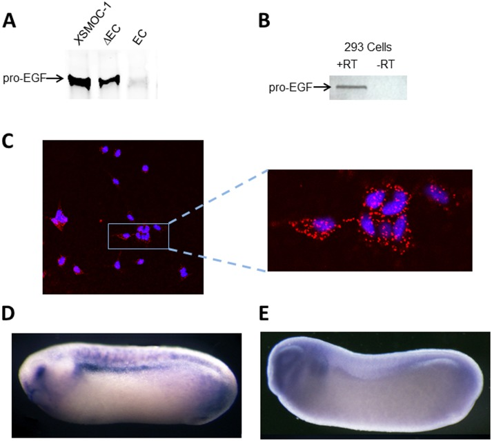 X SMOC-1 binds to pro-EGF and co-localizes with pro-EGF in vivo . (A) Immunoblot of pro-EGF following co-immunoprecipitation of pro-EGF with X SMOC-1, X SMOC-1 ΔEC, or X SMOC-1 EC in the presence of TBST/0.1% SDS; pro-EGF binds to X SMOC-1 and X SMOC-1 ΔEC, but not X SMOC-1EC. (B) RT-PCR analysis of HEK293 cells showing positive signal for pro-EGF(C) Representative confocal image showing co-localization of X SMOC-1 and pro-EGF (red fluorophore) on HEK293 cells using the PLA method. Nuclei are stained blue with DAPI. (D, E) Representative whole mount hybridization in situ images of Xenopus neurula embryos (stage 26) stained for X SMOC-1 (C) or pro-EGF (D). The locations of the eye (e) and pronephros (pn) are indicated.
