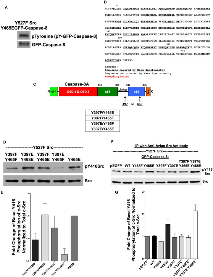 Y465 phosphomimetic modification of caspase-8A is necessary but not sufficient for Src activation. A) HEK293 cells were co-transfected with Y465E GFP-caspase-8A mutant and Y527F Src for 24 hours. Whole cell lysates were subjected to Western blot analysis with an anti-phosphotyrosine antibody (non-reactive to glutamic acid residue in phosphomimetic mutant) and an anti-GFP antibody. Y465E of GFP-caspase-8A was tyrosine phosphorylated. B) HEK293 cells were co-transfected with Y465E GFP-caspase-8A mutant and Y527F Src for 24 hours. GFP-caspase-8A IP was sent for LC-MS/MS analysis. C) This is a schematic figure showing the location of tyrosine residues that we mutated. D, E) We transfected HEK293 cells with Y527F Src and various GFP-caspase-8A mutants for 24 hours. Whole cell lysates were subjected to Western blot analysis with pY416Src antibody and Src antibody. N = 4, p = 0.001 (Y465E vs Y397E/Y465F); p = 0.139 (Y465E vs Y397F/Y465E). F, G) We transfected HEK293 cells with Y527F Src and pEGFP empty plasmid or pEGFP fusion plasmid with WT or various mutants of <t>GFP-caspase-8</t> for 24 hours. We then immunoprecipitated transfected avian Src and resolve the immunoprecipitate on SDS-PAGE for Western blot analysis. N = 3, p = 0.04.