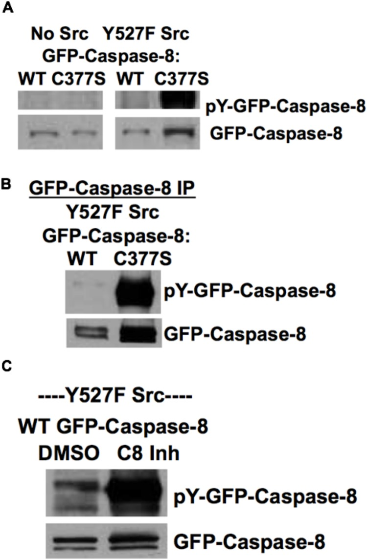 Inhibition of caspase-8 activity enhances Src-dependent tyrosine phosphorylation of caspase-8. A) HEK293 cells were transfected with GFP-caspase-8A (WT or C377S inactive mutant) with or without Y527F Src for 24 hours. Whole cell lysates were subjected to Western blot analysis with anti-phospho-tyrosine antibody and anti-GFP antibody. B) HEK293 cells were transfected with GFP-caspase-8A (WT or C377S inactive mutant) with Y527F Src for 24 hours. GFP-caspase-8A was immunoprecipitated with anti-GFP antibody and precipitates were probed with anti-phospho-tyrosine antibody and anti-GFP antibody. C) HEK293 cells were transfected with WT GFP-caspase-8A and Y527F Src for 9 hours followed by treatment with DMSO vehicle control or caspase-8 inhibitor (20 μM) for 15 hours. Whole cell lysates were subjected to Western blot analysis with anti-phospho-tyrosine antibody and anti-GFP antibody.