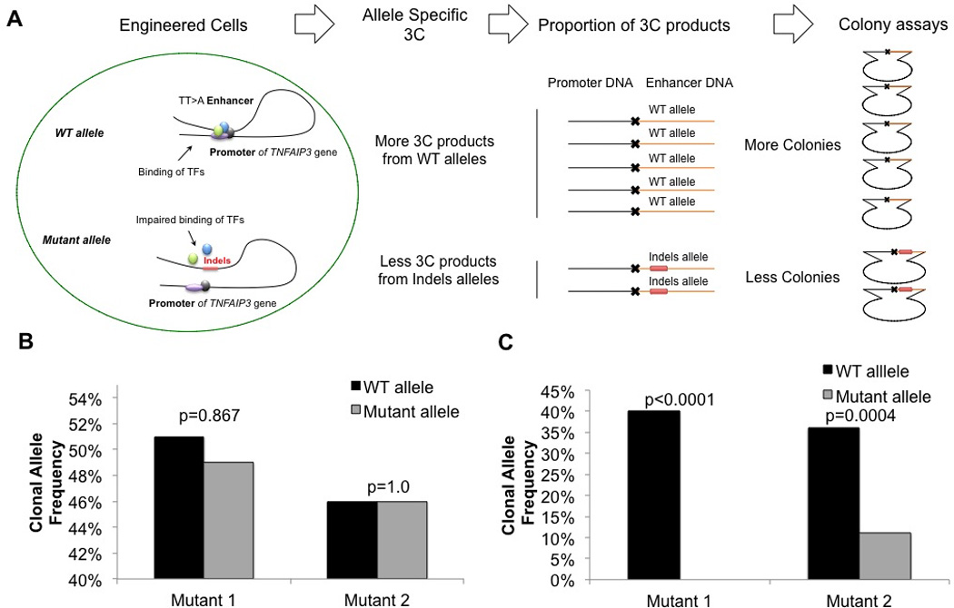 TALEN mutagenesis of the TT > A enhancer reduces interaction with the TNFAIP3 promoter A. Schematic representation of the allele-specific 3C and clonal assay analyses of the engineered heterozygous clonal mutant HEK293T cell lines. Wild type (WT) allele experiences higher frequencies of long-range DNA looping, thus higher proportions of 3C events are observed relative to Mutant 1 or Mutant 2 alleles. B. Genomic DNA isolated from 72 clonal expansions from Mutant 1 or Mutant 2 HEK293T cells without 3C was analyzed for wild type and mutant allele frequencies. The expected clonal frequency of approximately 50% wild type and 50% mutant allele was observed. C. Analysis of 72 mutant 1 or 2 clonal expansions from the 3C capture were analyzed for relative crosslinking frequencies between wild-type or mutated TT > A enhancer and TNFAIP3 promoter. P values were calculated using the Fisher's exact test and are as indicated.