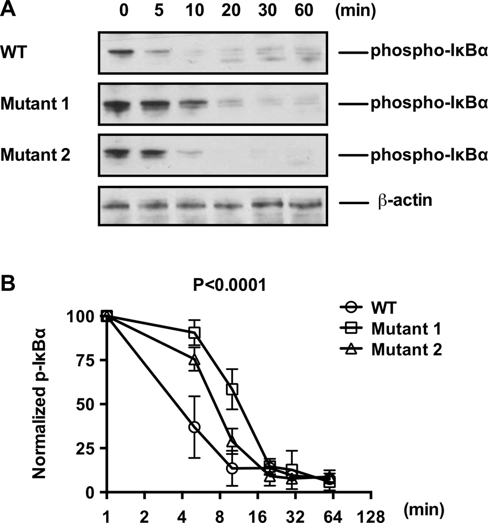 TALEN mutagenesis of the TT > A enhancer region delayed TNFα-inducible inactivation of NF-κB signaling A. Western blotting of phospho-IκBα at designated time points following TNFα stimulation of parental (wild type) and clonal mutant HEK293T cells. B. Densitometry analyses of Western blotting data represented in (A) normalized to β-actin levels; n = 3, P value calculated by two-way ANOVA and are as indicated.