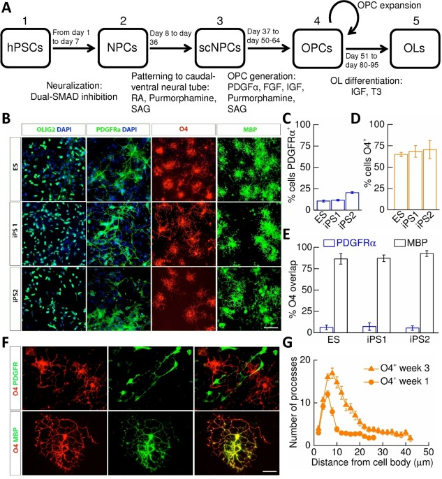 Derivation and specification of oligodendrocytes from human pluripotent stem cell (hPSC)‐derived oligodendrocyte precursor cells (OPCs). (A) : Summary of the protocol used to generate hPSC‐derived oligodendrocytes: (1) hPSCs were neuralized via dual‐SMAD inhibition. (2) NPCs were patterned to ventral spinal cord by exposure to retinoic acid and sonic hedgehog agonists, purmorphamine, and SAG. (3) spinal cord‐patterned NPCs were converted to OPCs by exposure to PDGFα and other mitogens. (4) OPCs could be further expanded by mechanical dissociation. (5) Oligodendrocyte differentiation was induced by mitogen withdrawal. (B) : Representative staining of cells 1 week post‐mitogen removal identifies OLIG2 + ‐progenitors, and cells expressing PDGFRα, O4, and MBP in all lines examined. Scale bar = 50 μm. (C) : Percentage of PDGFRα + ‐cells (ES/iPS1/iPS2: N = 4/4/3) and (D) O4 + ‐cells (ES/iPS1/iPS2: N = 4/13/13) in week 1 cultures. (E) : Percentage O4 + ‐cells that express PDGFRα(ES/iPS1/iPS2: N = 4/4/3) and MBP (ES/iPS1/iPS2: N = 4/5/6). Equivalent cellular specification was observed across all lines. (F) : Example images illustrating no overlap of PDGFRα + ‐ and O4 + ‐cells (upper panels) but substantial overlap of MBP + ‐ and O4 + ‐cells (lower panels). Scale bar = 12 μm. (G) : Sholl analysis performed upon week 1 and 3 O4 + ‐oligodendrocytes. Abbreviations: DAPI, 4',6‐diamidino‐2‐phenylindole; ES, embryonic stem cell; FGF, fibroblast growth factor; hPSC, human pluripotent stem cell; IGF, Insulin‐like growth factor; iPS, induced pluripotent stem cell; MBP, myelin basic protein; NPC, neural precursor cell; OL, oligodendrocyte; OPC, oligodendrocyte precursor cell; PDGF, platelet‐derived growth factor; RA, retinoic acid; SAG, smoothened agonist; scNPC, spinal cord‐patterned neural precursor.