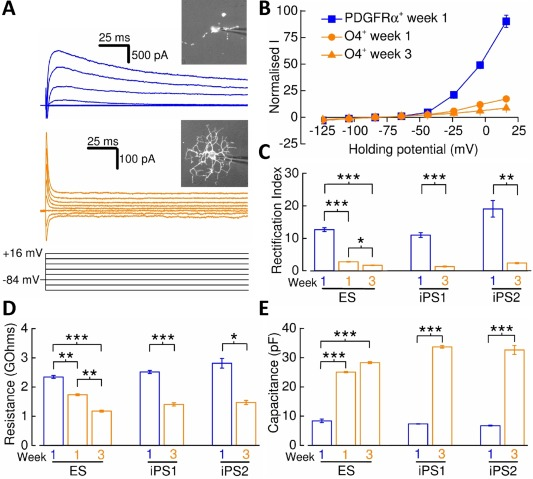 Membrane current properties of human pluripotent stem cell‐derived oligodendrocyte precursor cells (OPCs) and oligodendrocytes. (A) : Whole‐cell current recordings from a PDGFRα + ‐OPC (blue) and week 3 O4 + ‐oligodendrocyte (orange) in response to a voltage‐step protocol that involved incremental application of 20 mV voltage steps from a holding potential of –84 mV. Live‐stained cells are shown inset. (B) : Mean normalized current–voltage plots for PDGFRα + ‐OPCs, week 1 (circles) and week 3 (triangles) O4 + ‐oligodendrocytes ( n = 9–17, N = 3–6) derived from the ES line. Current amplitudes were measured 175 milliseconds after voltage‐step initiation and normalized to –64 mV current data. (C) : Mean PDGFRα + ‐OPC (iPS1/iPS2: n = 10/5, N = 3/1) and week 3 O4 + ‐oligodendrocyte (iPS1/iPS2: n = 8/6, N = 4/2) rectification index data calculated for each line examined. (D) : Mean input resistance measurements for PDGFRα + ‐OPCs (ES/iPS1/iPS2: n = 20/21/8, N = 3/3/3) and O4 + ‐oligodendrocytes (ES/iPS1/iPS2: n = 26‐32/19/7, N = 3/3/3). (E) : Mean whole‐cell capacitance measurements for PDGFRα + ‐OPCs (ES/iPS1/iPS2: n = 22/21/12, N = 3/3/3) and O4 + ‐oligodendrocytes (ES/iPS1/iPS2: n = 32‐41/26/7, N = 3/3/3). *, p