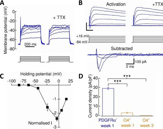 Voltage‐gated Na + ‐channel expression in human pluripotent stem cell‐derived oligodendrocyte precursor cells (OPCs) and oligodendrocytes. (A) : Current‐clamp recording demonstrating that PDGFRα + ‐OPCs exhibited tetrodotoxin (TTX)‐sensitive spikes in response to depolarization by current injection (each current step below trace represents 10 pA). (B) : To isolate and measure Na V ‐channel activity, the membrane potential was initially stepped in 20 mV increments from –84 mV to + 16 mV ( activation ). Scale bars = 500 pA, 5 milliseconds. The protocol was then repeated in the presence of TTX and the current data subtracted from that of the former to yield the TTX‐sensitive Na V ‐specific current. Not all TTX‐sensitive currents are shown for figure clarity. (C) : Normalized current–voltage plot of Na V ‐channel activity expressed by PDGFRα + ‐OPCs. Data were normalized to +16 mV current data. (D) : Decrease in Na V ‐channel expression from PDGFRα + ‐OPCs to O4 + ‐oligodendrocytes ( n = 5–18, N = 3; Mann Whitney U tests). ***, p