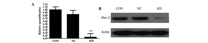 (A) Expression of HER-2 mRNA, as detected by reverse transcription-quantitative polymerase chain reaction following transfection with the lentiviral-mediated <t>HER2-small</t> hairpin RNA. Differences in the expression of HER-2 mRNA between the KD and NC and CON groups were significant (P