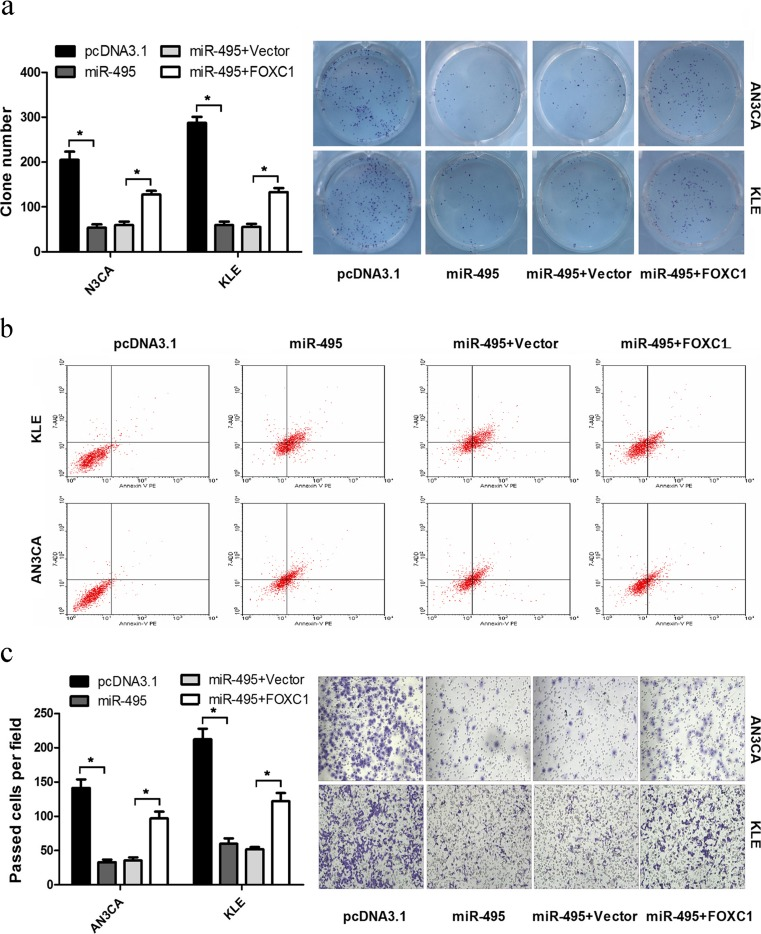 FOXC1 rescues miR-495-induced cellular phenotypes in endometrial cancer. a A colony formation assay was performed after transfection. b Flow cytometry analysis was used to detect cell apoptosis in AN3CA and KLE cells. c The ectopic expression of FOXC1 without a 3′UTR rescued AN3CA and KLE cell migration (* p