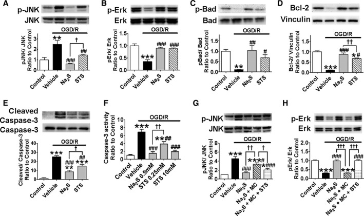 H 2 S or STS inhibits mitochondrial pathway of apoptosis via modulating JNK pathway and Erk1/2 pathway in SH ‐ SY 5Y cells. Na 2 S at 0.5 mmol/L or STS at 0.25 mmol/L were added 5 h after the end of OGD . Protein expression levels were determined by immunoblotting with rabbit polyclonal antibody against (A) phosphorylated (Thr183/Tyr185) or total JNK , n=4 each, (B) phosphorylated (Thr202/Tyr204) or total Erk1/2, n=3 each, (C) phosphorylated (Ser112) or total Bad, n=3 each, (D) Bcl‐2, n=3 each, or vinculin, and (E) cleaved or total caspase‐3. n=7 each; *, **, or *** P