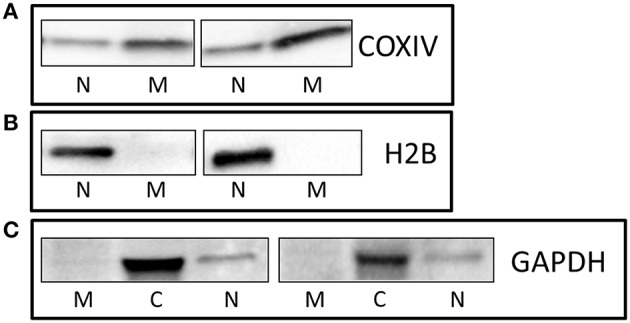 Enrichment and purity of protein fractions . Representative Western Blots showing that (A) COXIV is highly abundant in the mitochondrial fraction (A) , and H2B (B) , and GAPDH (C) were enriched in nuclear and cytoplasmic fractions, respectively. M, Mitochondria; N, Nuclear; C, Cytoplasmic.