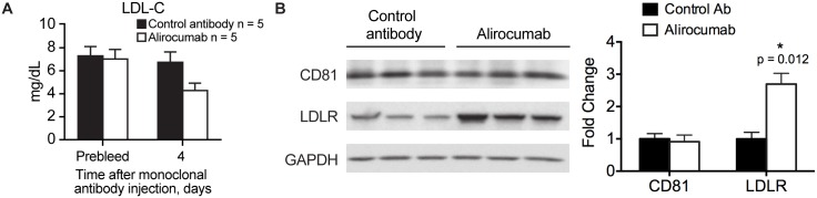 Effect of administration of alirocumab (monoclonal antibody to PCSK9) or control antibody (10 mg/kg) on LDLR and CD81 levels in hyperlipidemic Pcsk9 hum/hum Ldlr +/- mice. Shown are mean ± SE serum LDL-C levels (A) and Western blot analysis of CD81 and LDLR levels in liver extracts using GAPDH as loading control (B). Western blot in B was quantified using Image J. The intensities of CD81 and LDLR bands were adjusted to respective loading control for each lane and presented as a fold change from control antibody treated group. Means ± SE are shown. Serum and livers were collected on Day 4 after antibody administration. In panel B, the three columns represent three livers collected for each of the two treatments. Ab, antibody; GAPDH, glyceraldehyde 3-phosphate dehydrogenase; LDL-C, low-density lipoprotein cholesterol; LDLR, low-density lipoprotein receptor; mAb, monoclonal Ab.