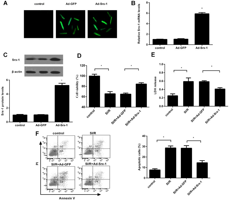 Effect of Srx-1 overexpression on SI/R-induced cell injury H9c2 cells were transfected with the 2 nmol/l of recombinant Ad-Srx-1 or Ad-GFP prior to subject to SI/R. ( A ) About 96% of cardiomyocytes were infected after 48 h adenoviral infection. ( B and C ) The effect on Srx-1 mRNA and protein levels were evaluated by qRT-PCR and western blotting. ( D ) About 0.5 mg/ml MTT solution was added to assess the effect on cell viability. ( E ) LDH concentration was determined using a colorimetric assay kit. ( F ) Cells were subsequently treated with Annexin V/PI staining. Typical representative of cell apoptosis under various treatments by flow cytometry assay. Graph showing cell apoptotic rate in H9c2 cells. * P