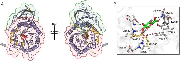 ( A ) Overview of the <t>heparanase–GlcA</t> complex structure. The 8 and 50 kDa subunits are depicted with yellow and purple carbons, respectively, while the arrows indicate the location of the GS3 peptide. The TIM-barrel and β-sandwich domains of heparanase are contoured with red and green lines, respectively. GlcA is represented as spheres with white carbons. ( B ) Close-up view of the catalytic site of heparanase (white cartoons and carbons). The two catalytic residues are colored in yellow and GlcA in green.