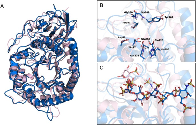 ( A ) Superposition of human heparanase crystal structure (pink ribbons, PDB code: 5E9C) and the homology model of GS3 construct (blue ribbons). ( B and C ) Close-up views of the ligand-binding site of heparanase crystal in complex with ligand dp4 (ΔHexA2S-GlcNS6S-IdoA-GlcNS6S, pink carbons) and heparanase GS3 construct in complex with fondaparinux (blue carbons). (B) depicts the residues delimiting the catalytic sites, (C) shows the ligand molecules dp4 and roneparstat.