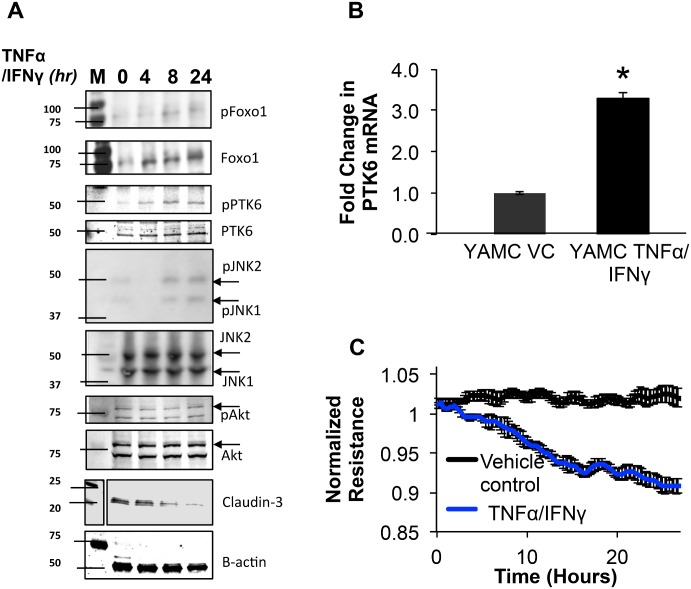 TNFα/IFNγ mediated barrier dysfunction involves activation of PTK6, JNK, and downregulation of claudin-3 in YAMC. A) Mortalized, 2-day post-confluent YAMC monolayers were treated with vehicle control (0.1% BSA in PBS) or TNFα (100ng/ml) and IFNγ (500U/ml) at the indicated time points then assayed for changes in expression of the indicated proteins (please refer to S3 Fig for full blot scans). B) RNA was isolated then quantitated for PTK6 levels with qPCR. Error bars represent standard error for 3 separate experiments (*p