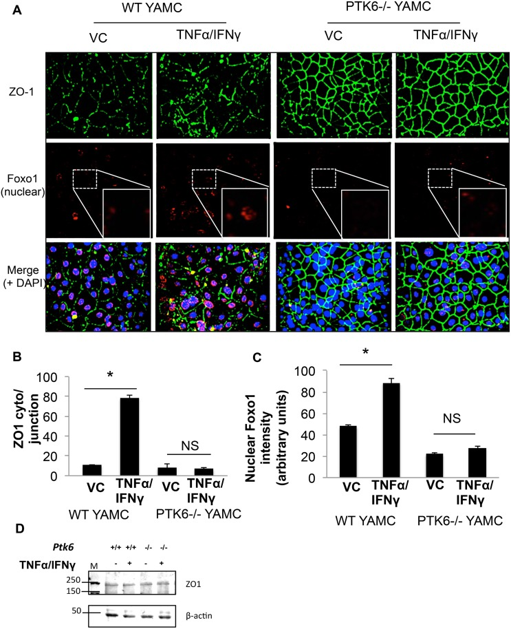 PTK6 contributes to the cytokine cocktail TNFα/IFNγ induced barrier dysfunction and FoxO1 nuclear translocation in YAMC. Post-confluent, mortalized WT or PTK6-/- YAMC monolayers were treated with vehicle control (0.1% BSA in PBS) or TNFα (100ng/ml) and IFNγ (500U/ml) 16 hours. A) Nuclei (blue), ZO-1 (green), and FoxO1 (red) were detected via confocal microscopy. B) Quantitation of the ratio of ZO-1 intensity in the cytoplasm over cell-cell junction from Fig 3A. C) Quantitation for nuclear FoxO1 intensity of FoxO1 stain in Fig 3A. D) Western blot indicating expression levels of ZO-1 in total cell lysates (please see S5 Fig for full blot scan). *p