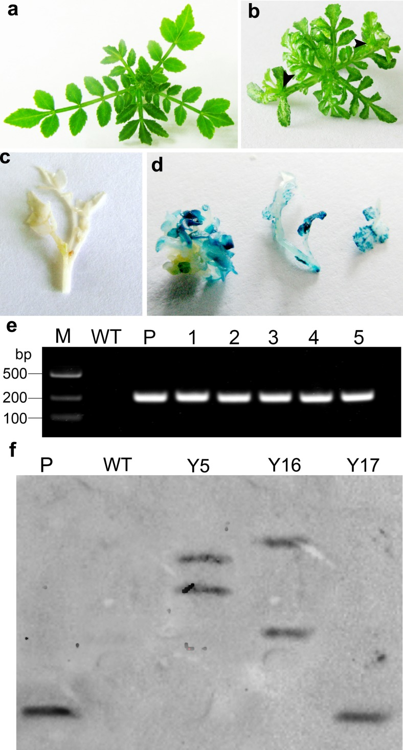 Kanamycin-resistant shoots, GUS histochemical detection, and PCR analysis. a WT shoots. b Kanamycin-resistant shoots. Black arrows show epiphyllous shoots. c WT shoots. d GUS-positive shoots and leaves. e PCR analysis of transgenic Asakura-sanshoo plants. M DL2000 DNA marker, WT DNA from non-transgenic plant, P plasmid, 1–5 transgenic lines. f Southern blotting analysis. P pBin-Ex-Hipt plasmid; WT genomic DNA from non-transgenic plant; Y1 , Y17 , Y5 , and Y16 genomic DNA from transgenic lines. Genomic DNA from all lines and plasmid DNA were digested with Eco RI and Kpn I