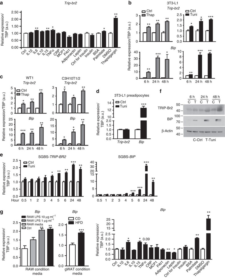 Obesity-induced circulating factor converged on ER stress pathway to regulate TRIP-Br2 expression in vitro . qPCR analysis of TRIP-Br2 or ER stress marker (BiP) gene expression in ( a ) 3T3-L1 adipocytes after 24 h treatment with control (Ctrl) or compound indicated ( n =4 per group replicated twice); ( b ) 3T3-L1 adipocytes after 6, 24 or 48 h treatment with vehicle, thapsigargin (Thap; 0.1 μM) or tunicamycin (Tuni; 1 μg ml −1 ; n =3 per group replicated twice); ( c ) WT1 or C3H10T1/2 adipocytes after treatment with vehicle or Thap (0.1 μM) for 6, 24 or 48 h ( n =3 per group replicated twice); ( d ) 3T3-L1 preadipocytes treated with vehicle or Tuni (1 μg ml −1 ) for 24 h ( n =3 per group replicated twice); ( e ) human SGBS adipocytes treated with vehicle or Tuni (1 μg ml −1 ) for indicated time points ( n =3 per group replicated twice). ( f ) Western blot analysis for TRIP-Br2, BiP or β-actin (loading Ctrl) protein in 3T3-L1 adipocytes treated with vehicle (control, C) or Tuni (1 μg ml −1 , T) for indicated time points. ( g ) qPCR analysis of BiP gene expression in 3T3-L1 adipocytes treated with RAW- or HFD-fed gWAT-conditioned media for 24 h ( n =5 per group replicated twice) or 3T3-L1 adipocytes after 24 h treatment with Ctrl or compound indicated ( n =4 per group replicated twice). All qPCR data are normalized to TATA box-binding protein (TBP) and presented as mean±s.e.m. Two-tailed Student's t -test or ANOVA, * P