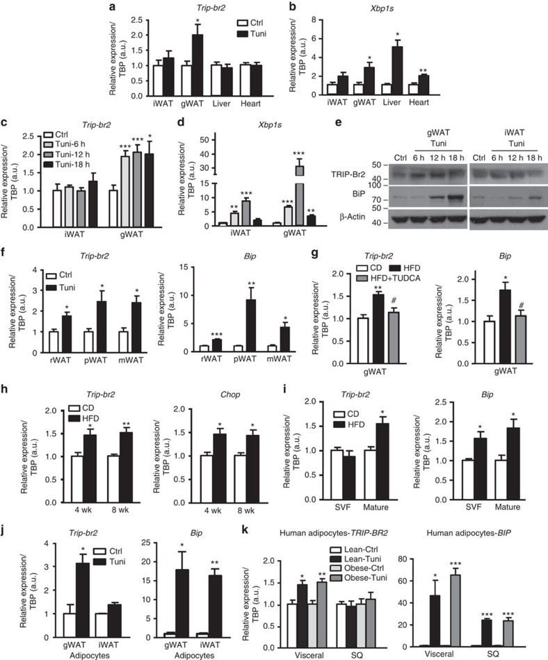 Both chemically- and HFD-induced ER stress promote TRIP-Br2 expression specifically in visceral fat. qPCR analysis of TRIP-Br2 or ER stress marker (XBP1s) gene expression in ( a , b ) tissues harvested from mice 18 h after intraperitoneal (i.p.) injection with vehicle (Ctrl, control) or tunicamycin (Tuni; 2.5 mg kg −1 ; n =5 per group replicated thrice); ( c , d ) iWAT or gWAT from mice 6, 12 or 18 h after IP injection with vehicle or Tuni (2.5 mg kg −1 ; n =5 per group replicated twice). ( e ) Western blot analysis of TRIP-Br2, BiP or β-actin (loading control (Ctrl)) in iWAT or gWAT from mice treated for 6, 12 or 18 h with vehicle or Tuni (2.5 mg kg −1 , i.p.). qPCR analysis of TRIP-Br2 or ER stress marker gene expression in ( f ) retroperitoneal (rWAT), perirenal (pWAT) or mesenteric (mWAT) adipose tissues after IP injection with vehicle or Tuni (2.5 mg kg −1 ; n =5 per group replicated thrice); ( g ) gWAT from mice after 12 weeks of CD, HFD or HFD with TUDCA (250 mg kg −1 at 0800 hours and 2000 hours i.p., total 500 mg kg −1 for 15 days; n =5 per group); ( h ) gWAT from mice after 4 or 8 wk of CD or HFD ( n =5 per group); ( i ) SVF or mature adipocytes from mice after 12 wk of CD or HFD ( n =5 per group replicated twice); ( j ) gWAT or iWAT adipocytes differentiated from immortalized gWAT or iWAT preadipocytes after 24 h of vehicle or Tuni (1 μg ml −1 ) treatment ( n =3 replicated twice); ( k ) human adipocytes differentiated from immortalized preadipocytes from lean or obese patients treated with vehicle or Tuni (1 μg ml −1 ) for 24 h ( n =4 replicated twice). All qPCR data are normalized to TATA box-binding protein (TBP) and presented as mean±s.e.m. Two-tailed Student's t -test or ANOVA, * P
