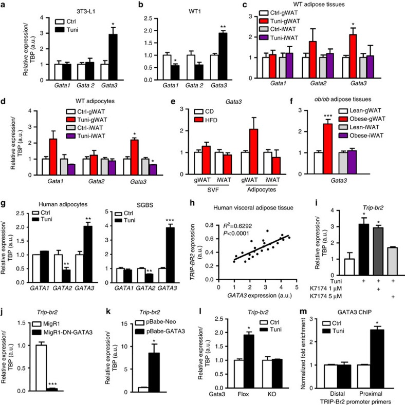 ER stress induces GATA3 expression in visceral adipocytes and leads to TRIP-Br2 upregulation. qPCR analysis of GATA1, GATA2 or GATA3 gene expression in ( a ) 3T3-L1 differentiated adipocytes ( n =3 per group replicated twice); ( b ) WT1 differentiated adipocytes ( n =3 per group replicated twice) after 6 h of vehicle or tunicamycin (Tuni; 1 μg ml −1 ) treatment; ( c ) WT gWAT or iWAT ( n =5 per group replicated twice) 18 h after vehicle or Tuni (2.5 mg kg −1 , i.p.) injection; ( d ) WT gWAT or iWAT adipocytes ( n =3 per group) after vehicle or Tuni (1 μg ml −1 ) treatment for 6 h; ( e ) gWAT and iWAT SVF or mature adipocytes after 12 weeks of CD or HFD ( n =5 per group replicated twice); ( f ) gWAT and iWAT from lean or obese ob/ob mice ( n =6 per group); ( g ) human adipocytes from immortalized human preadipocytes or SGBS cells after vehicle or Tuni (1 μg ml −1 ) treatment for 24 h ( n =3–4 per group replicated twice). ( h ) Gene expression of human TRIP-Br2 and GATA3 in visceral adipose tissue from human subjects ( n =24 per group). qPCR analysis of TRIP-Br2 in ( i ) gWAT adipocytes treated with Tuni (1 μg ml −1 ) and/or GATA inhibitor K7174 (1, 5 μM) for 24 h ( n =3 per group replicated twice); ( j ) gWAT adipocytes infected with control (Ctrl) or DN-GATA3 retrovirus ( n =3 per group); ( k ) gWAT adipocytes infected with Ctrl or GATA3 retrovirus ( n =3 per group replicated twice); ( l ) gWAT adipocytes differentiated from GATA3fl/fl-CreERT2 primary SVF with or without tamoxifen (0.5 μM) treatment to induce GATA3 KO ( n =5 per group). ( m ) qPCR analysis of proximal or distal genomic region of TRIP-Br2 transcript 3 promoter after GATA3 chromatin immunoprecipitation ( n =3 per group replicated twice). All qPCR data are normalized to TATA box-binding protein (TBP) and presented as mean±s.e.m. Two-tailed Student's t -test or ANOVA, * P