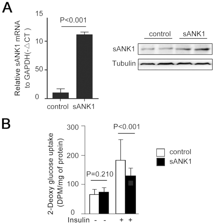 Overexpression of sAnk1 decreased glucose uptake in C2C12 cells. ( A ) The efficiency of <t>pEGFP-c1-sAnk1</t> transferred in C2C12 cells. C2C12 cells were transfected with the pEGFP-c1-sAnk1 plasmid. After differentiation, total RNA and protein isolates were analyzed by qPCR and western blotting, respectively. ( B ) Glucose uptake in C2C12 cells after transfection with the pEGFP-c1-sAnk1 plasmid and subsequent differentiation. The data shown are the mean ± S.D. P values were calculated by Student's t-test.