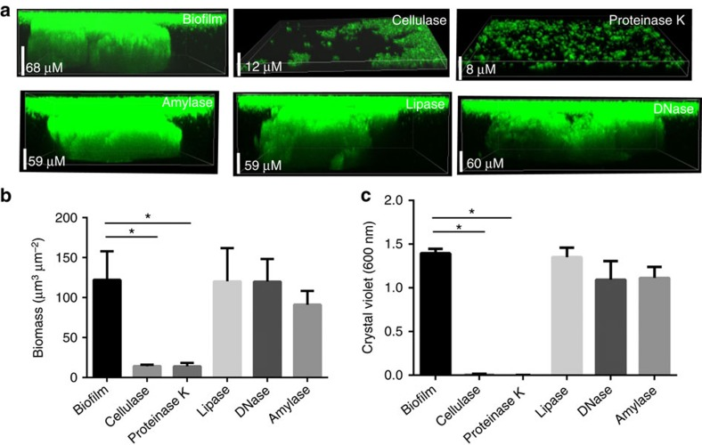 Effect of ECM-degrading enzymes on the development of Mtb biofilms. ( a ) Mtb cells overexpressing GFP were treated with 6 mM DTT to induce TRS. After 3 h of DTT exposure, the cultures were treated with proteinase K, cellulase, α-amylase, lipase or DNase. After 29 h, the effects of various enzymes on the formation of Mtb biofilms were observed through CLSM. Cellulase and proteinase K inhibited the Mtb biofilm formation, suggesting that cellulose fibres and unidentified structural proteins play a critical role in the early stages of biofilm attachment. In contrast, amylase, lipase and DNase had no effect on the structural integrity of biofilm initiation and maturation. ( b ) The biomass of biofilms developed in the presence of enzymes capable of degrading the ECM was estimated using COMSTAT. ( c ) CV assays of Mtb biofilms developed despite the presence of cellulase, lipase, proteinase K and DNase. Cellulase and proteinase K inhibited biofilm development, whereas lipase, DNase and α-amylase had no effect on the biofilm formation and hence on the CV staining. The data presented in b , c are expressed as the mean (±s.e.m.). Statistical significance was determined using Student's t -test. * P