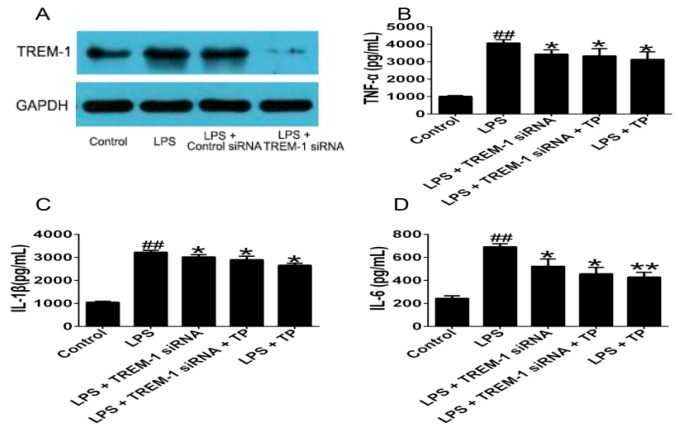 Effects of TP on inflammatory cytokines expression after TREM-1 knockdown. PMA-induced U937 cells were treated with or without 1 μg/mL LPS, and then transfected with TREM-1 siRNA or control siRNA, respectively. After 48 h, cells were treated with or without TP for another 48 h. ( A ) TREM-1 mRNA protein levels were determined by Western blot; and ( B – D ) TNF-α, IL-1β and IL-6 production were determined by ELISA. ## p