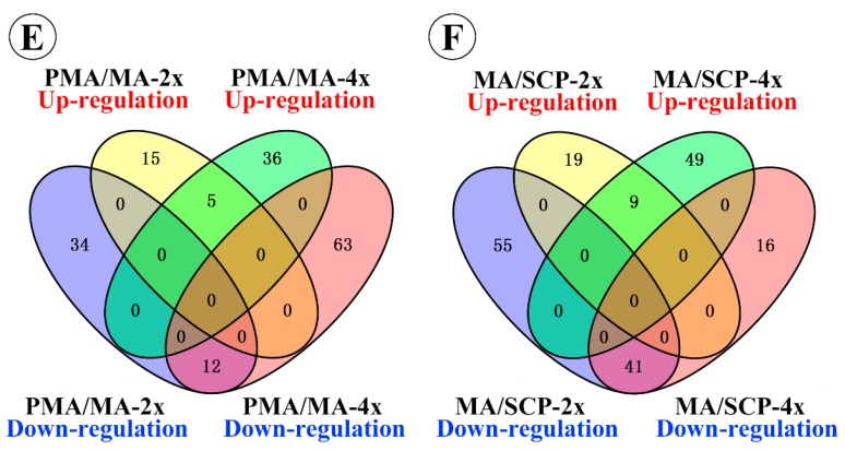"Classification of miRNAs during pollen development: ( A , B ) the total number of miRNAs detected during different pollen development stages of Taichung65-2x ( A ) and Taichung65-4x ( B ); ( C , D ) Venn analysis of miRNAs expressed in Taichung65-2x ( C ) and Taichung65-4x during pollen development ( D ); and ( E , F ) specifically up- and down-regulated miRNAs during each adjacent stage of pollen development in Taichung65-2x and Taichung65-4x. PMA, MA and SCP represent pre-meiotic interphase, meiosis and single microspore stage, respectively. ""4x"" and ""2x"" represent the autotetraploid and diploid rice, respectively."