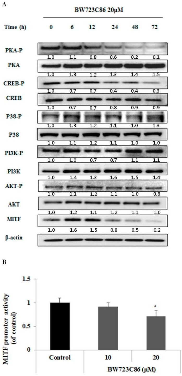 Effect of BW723C86 on the phosphorylation of phosphatidylinositol 3-kinase (PI3K)/AKT, p38 MAPK, protein kinase A (PKA), and cAMP response element-binding protein (CREB), and on MITF promoter activity. ( A ) Changes in the protein expression of MITF and expression and phosphorylation of PI3K, AKT, p38 MAPK, PKA, and CREB were measured by Western blotting. β-actin was used as the protein loading control; ( B ) Melan-A cells containing pMITF-GLuc were cultured for 24 h with BW723C86. Gaussia luciferase activity was determined from culture supernatants using the Gaussia Luciferase Assay Kit. Values are means ± SD from three replicates ( n = 3). Statistical significance was determined using the Student t -test (* p