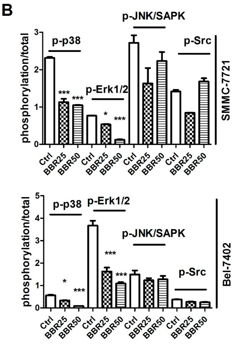 Inactivation of p38 and Erk1/2 in the low concentration of BBR-treated HCC cells by western blot. SMMC-7721 and Bel-7402 cells were treated with BBR for 6 h. Proteins were collected, determined and expression of p-p38, p-Erk1/2, p-JNK/SAPK and p-Src were analyzed by western blot. The expression of total proteins was used as internal standard. ( A ) Protein expression was observed by ChemiDoc™ XRS + Molecular Imager; ( B ) Protein expression was calculated by ImageJ 1.38x software. * p