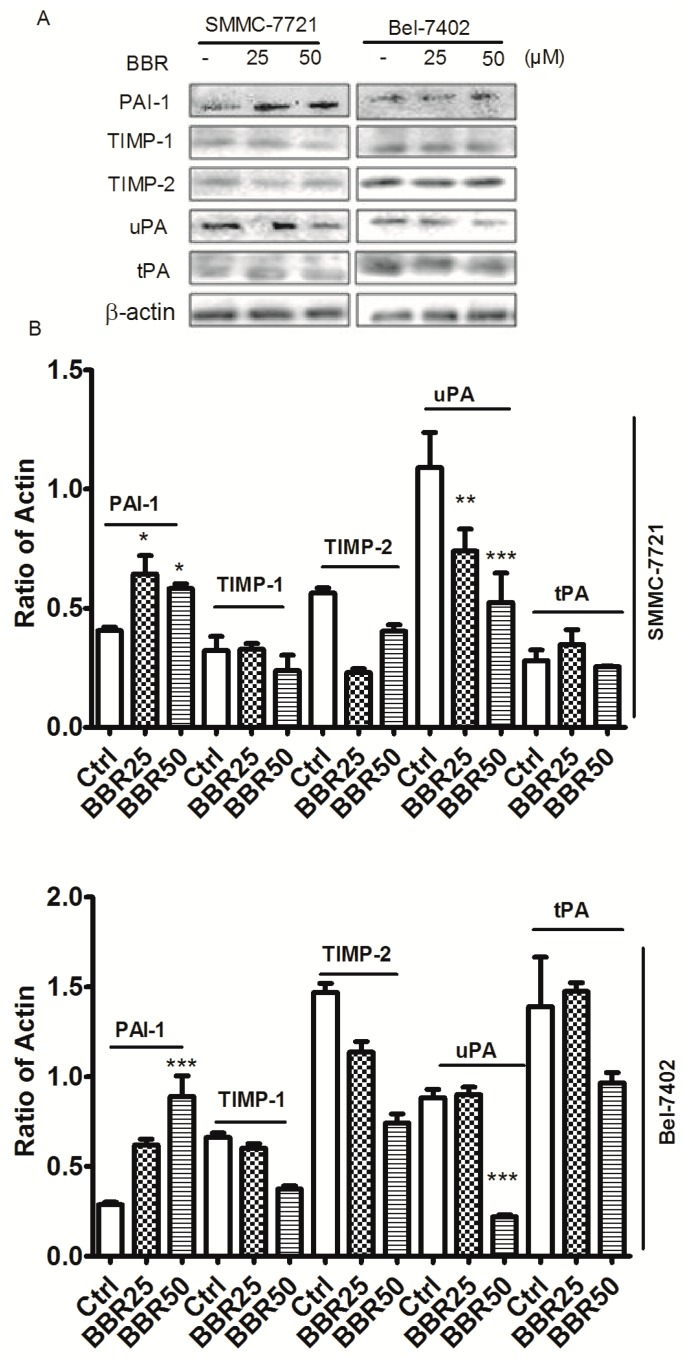 Induction of plasminogen activator inhibitor-1 (PAI-1) and inhibition of urokinase-type plasminogen activator (uPA) in BBR-treated HCC cells by western blot. SMMC-7721 and Bel-7402 cells were treated with BBR for 6 h. Proteins were collected, determined and expression of PAI-1, TIMP-1, TIMP-2, uPA and tissue-type plasminogen activator (tPA) were analyzed by western blot. β-actin was used as internal standard. ( A ) Protein expression was observed by ChemiDoc™ XRS + Molecular Imager; ( B ) Protein expression was calculated by ImageJ 1.38x software. * p