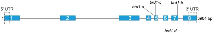 The HvDWARF gene structure with <t>exons</t> depicted as blue rectangles with consecutive numbers and <t>introns</t> as black line. Positions of the mutations identified in the brd1-a , brd1-b , brd1-c and brd1-d alleles are shown.