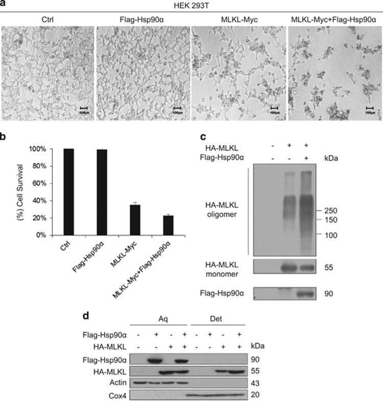 Coexpression of Hsp90 enhances MLKL-mediated necroptosis. ( a ) The 293T cells were transfected with vector, with Flag-Hsp90 α , with MLKL-Myc alone, or with Flag-Hsp90 α  and MLKL-Myc. After 24 h of transfection, cell images were taken with a Nikon-TE2000 microscope. Scale bar, 100  μ m. ( b ) The 293T cells were transfected as in ( a ). After 24 h of transfection, cell death was quantified by propidium iodide (PI) staining. Cell death data are the means±S.D. of three independent experiments. ( c ) Hsp90 α  increases MLKL oligomerization. The 293T cells were transfected with the indicated plasmids. The cells were harvested 24 h after transfection, and non-reducing samples (without  β -mercaptoethanol) of whole-cell lysate were analyzed by immunoblotting with anti-HA antibody. ( d ) Hsp90 α  increases the plasma membrane translocation of MLKL. The 293T cells were transfected with the indicated expression vectors. After 24 h of transfection, the cells were harvested and lysed in Triton X-114 lysis buffer and then separated into aqueous phase (Aq) and detergent phase (Det) as described in the experimental procedures. The samples were resolved and probed with the indicated antibodies.  β -actin and Cox4 were used as loading controls for soluble protein and membrane protein, respectively