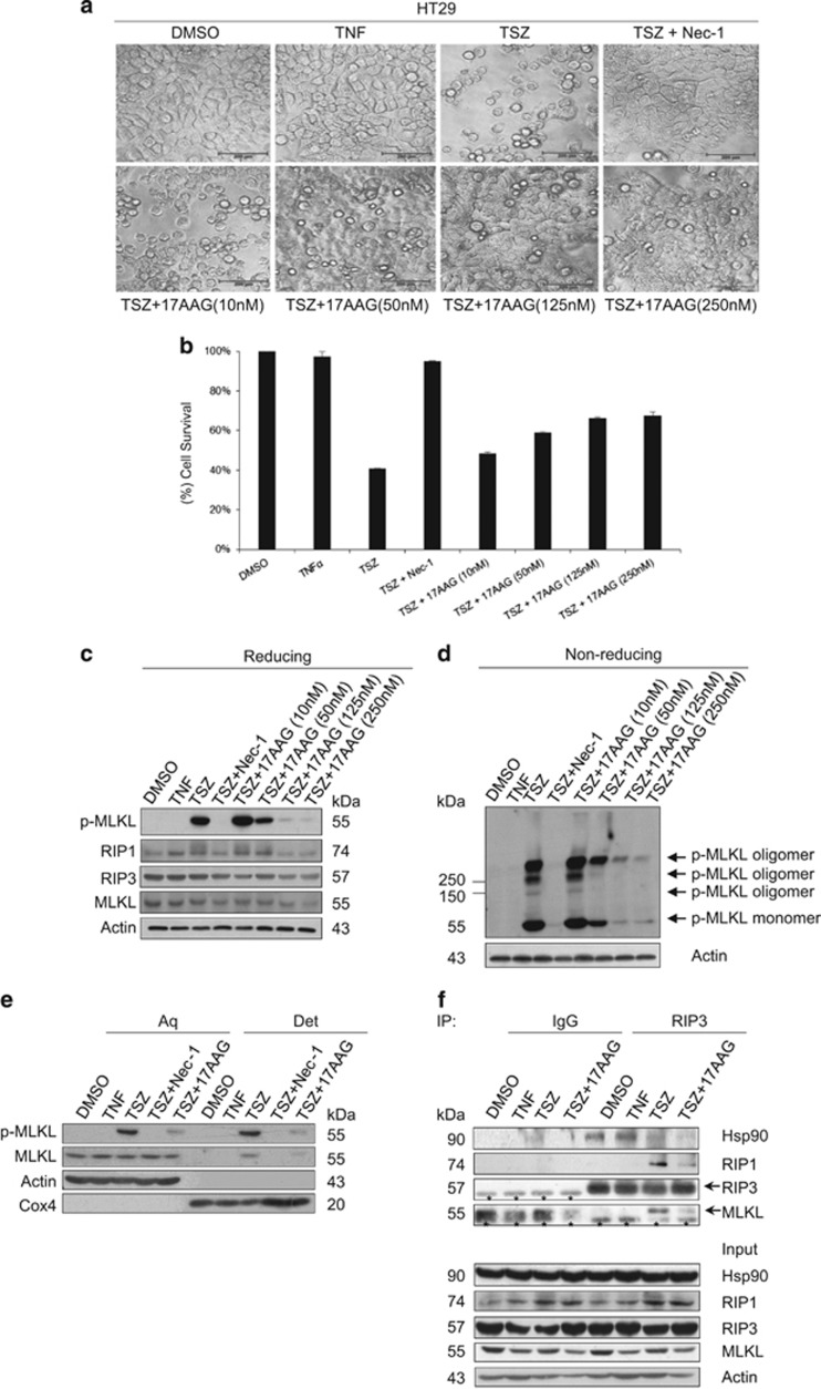 Hsp90 is required for TNF-triggered necroptosis. ( a ,  b ) 17AAG treatment inhibits TNF-induced necroptosis. HT29 cells were pretreated with or without different concentrations of 17AAG for 12 h, and then treated with the indicated stimuli for 24 h. Cell images were taken with a Nikon-TE2000 microscope ( a ). Scale bar, 200  μ m. Cell viability was determined by an MTS assay ( b ). Results are the means±S.D. of triplicate measurements. The final concentrations of 20 ng/ml TNF, 100 nM Smac mimetic, 20  μ M z-VAD and 10  μ M necrostatin-1 were used. T, TNF; S, Smac mimetic; Z, z-VAD; Nec-1, necrostatin-1. ( c ) 17AAG treatment reduces the phosphorylation of MLKL. HT29 cells were pretreated with or without different concentrations of 17AAG for 12 h, and then treated with the indicated stimuli for 8 h. The activation of MLKL was analyzed by immunoblotting with a T357/S358 phospho-specific MLKL antibody. Protein levels were detected by western blotting using anti-RIP1, anti-RIP3, anti-MLKL and anti-actin antibodies. ( d ) 17AAG inhibits TNF-induced oligomerization of phosphorylated MLKL. HT29 cells were treated as in ( c ). The cells were harvested and lysed, and non-reducing samples (without  β -mercaptoethanol) of whole-cell lysate were analyzed by immunoblotting with a T357/S358 phospho-specific MLKL antibody. ( e ) 17AAG inhibits plasma membrane translocation of phosphorylated MLKL. HT29 cells were pretreated with or without 125 nM 17AAG for 12 h, and then treated with the indicated stimuli for 8 h. The cells were harvested and then separated into the aqueous phase (Aq) and detergent phase (Det) using Triton X-114 lysis buffer as described in the experimental procedures. The samples were analyzed by western blotting with the indicated antibodies. ( f ) The effect of 17AAG on TNF-induced necrosome formation. Ten-centimetre plates of HT29 cells were pretreated with or without 125 nM 17AAG for 12 h and then stimulated with TNF alone or TSZ for 8 h. Cells were then harvested and whole-cell extracts were immunoprecipitated with anti-RIP3 antibody or anti-IgG antibody and subsequently analyzed by western blotting for the indicated proteins. The asterisks denote nonspecific IgG bands