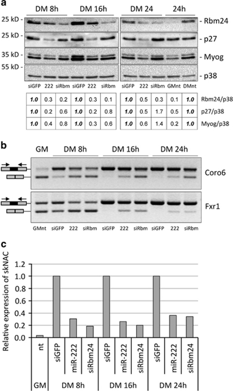 MiR-222 overexpression and Rbm24 silencing inhibit muscle alternative splicing during early myoblasts differentiation. ( a ) MSC myoblasts transfected in GM with siGFP (siGFP), miR-222 (222) or siRbm24 (siRbm) duplex RNAs were shifted to DM for 8 h, 16 h or 24 h and analyzed for expression of Rbm24, p27 and Myogenin proteins by western blot. The table shows a quantification of the expression of Rbm24, p27 and Myogenin proteins normalized to p38, relative to control siGFP, referred as 1. Untransfected MSC in GM (GMnt) and DM (DMnt) at 24 h are shown for comparison. ( b ) RNA from parallel cell cultures was analyzed by semi-quantitative RT-PCR and amplicons were separated on ethidium bromide-stained agarose gels to determine splicing efficiency of muscular isoforms of Coro6 and Fxr1 transcripts. Greyscale of images was inverted for a sharper band definition. In the scheme, the black rectangles represent muscle-specific exons and the black arrows indicate primer positions. ( c ) General and muscular isoforms of NACA transcripts were detected by qPCR analysis and normalized to GAPDH transcript. Expression of muscle-specific isoform of NACA (skNAC) over the general NACA isoform, and relative to siGFP, referred as 1, is shown in the histogram. A representative experiment is shown