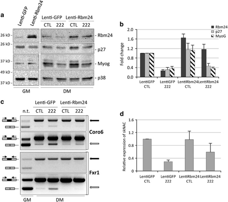 Ectopic expression of Rbm24 rescues muscle alternative splicing inhibited by miR-222. ( a ) MSC myoblasts were infected with Lenti-GFP and Lenti-Rbm24 and grown in GM for 48 h (GM). Parallel cultures were transfected with miR-222 mimic (222) and negative control duplex RNA (CTL) and shifted to DM for 24 h. Cells were analyzed for expression of Rbm24, p27 and Myogenin proteins by western blot. ( b ) The histogram shows the quantitation of the expression levels of Rbm24, p27 and Myogenin normalized to p38, relative to MSC infected with Lenti-GFP and transfected with control duplex RNA, referred as 1, in three independent experiments. The error bars represent the average±S.E. ( c ) RNAs from parallel cell cultures were analyzed by semi-quantitative RT-PCR, and amplicons were separated on ethidium bromide-stained agarose gels to determine splicing efficiency of muscular isoforms of Coro6 and Fxr1 transcripts. Two different exposures of the same amplified bands for Coro6 or amplification at different PCR cycles for Frx1 are shown, to better highlight differences in the muscle-specific isoforms (top panels, black arrows) and in the general isoforms (bottom panels, white arrows). ( d ) Real-time PCR analysis to detect general and muscular isoforms of NACA transcripts normalized to GAPDH transcript. The histogram shows expression of muscle-specific isoform of NACA (skNAC) over the general isoform, and relative to Lenti-GFP transfected with control duplex RNA, referred as 1, in three independent experiments. The error bars represent the average±S.E.
