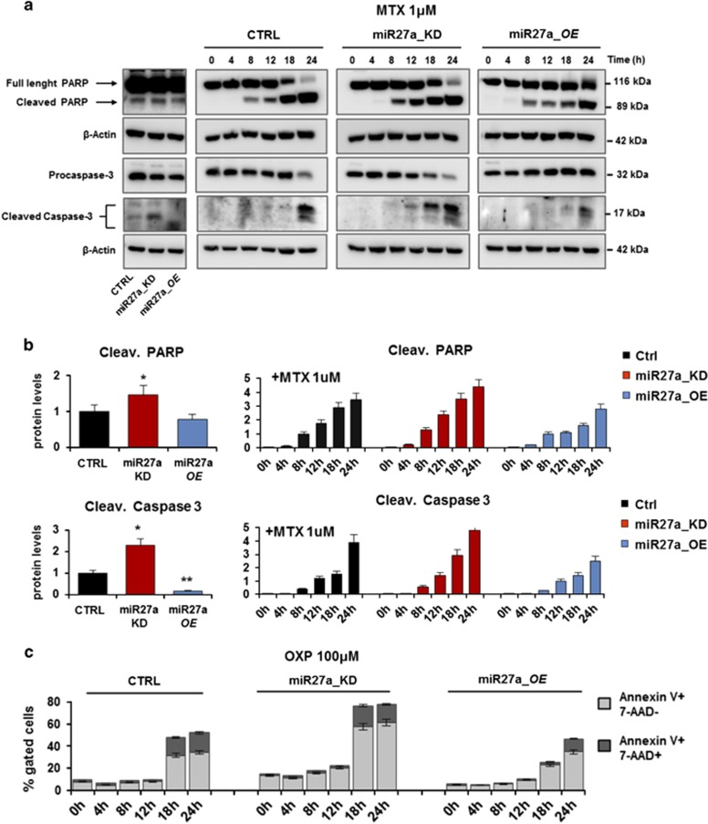 miR-27a impairs the kinetics of apoptosis execution in drug-induced ICD. ( a ) Western blot analysis of the apoptosis markers, PARP and caspase 3, in time-course experiments of HCT116 CRTL, miR27a_KD and miR27a_OE cells treated or not with mitoxantrone (1 μ M). β -Actin was used as loading control and quantification of the cleaved protein forms is reported in ( b ). ( c ) Flow cytometry analysis of pre-apoptotic (annexin V-PE + and 7-AAD - ) and apoptotic (annexin V-PE + and 7-AAD + ) HCT116 CRTL, miR27a_KD and miR27a_OE cells treated with OXP (100 μ M) in kinetics experiments. One representative experiment out of three is shown
